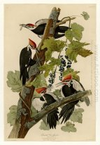 Plate 111 Pileated Woodpecker