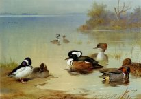 Buffel Dipimpin Duck Amerika Hijau Winged Teal Dan Hooded Mergan