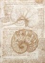Drawing Of The Uterus Of A Pregnant Cow 1508