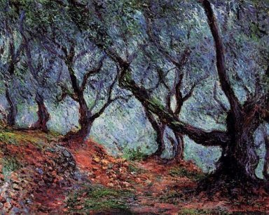 Grove Of Olive Trees In Bordighera