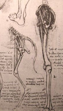 Drawing Of The Comparative Anatomy Of The Legs Of A Man And A Do