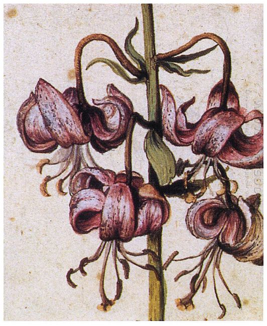 lillium martagon details