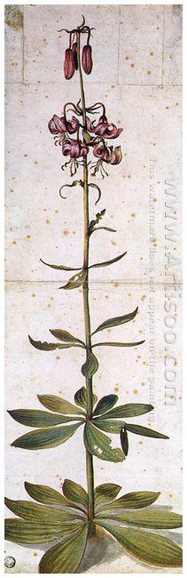 martagon lillium
