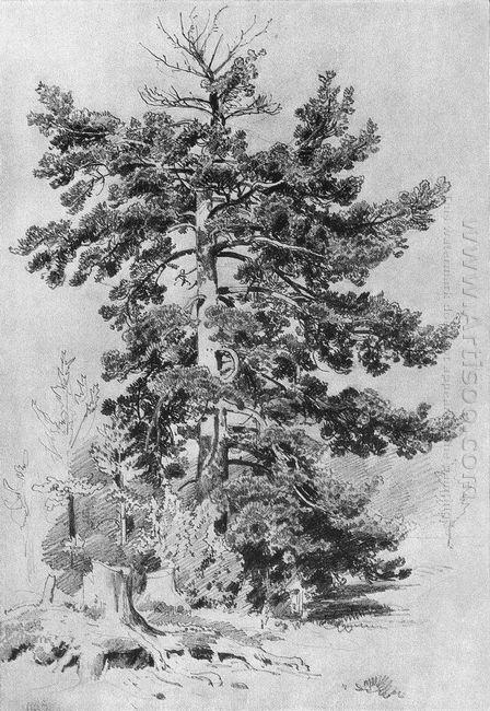 Pine 1889