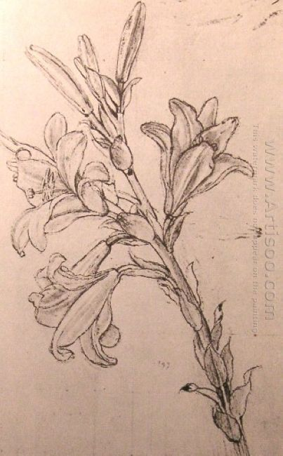 Drawing Of Lilies For An Annunciation